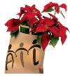 AIL - Stelle di Natale