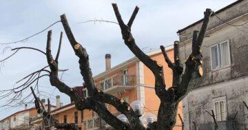 Ancora alberi capitozzati