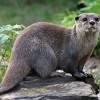 La lontra torna nel Parco del Gargano dopo 40 anni